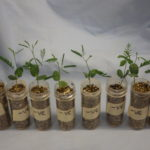 Growing seedlings in the lab